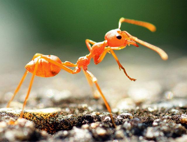 小黄家蚁  法老蚁