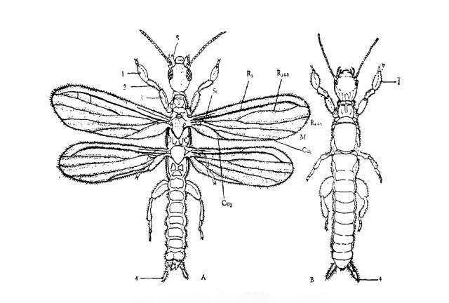 足丝蚁-昆虫纲