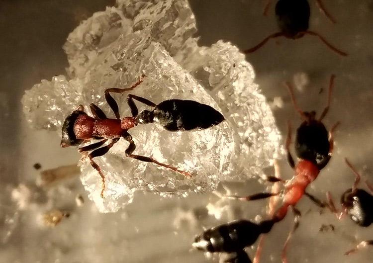 红黑细长蚁
