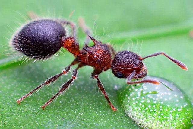 盾胸切叶蚁属